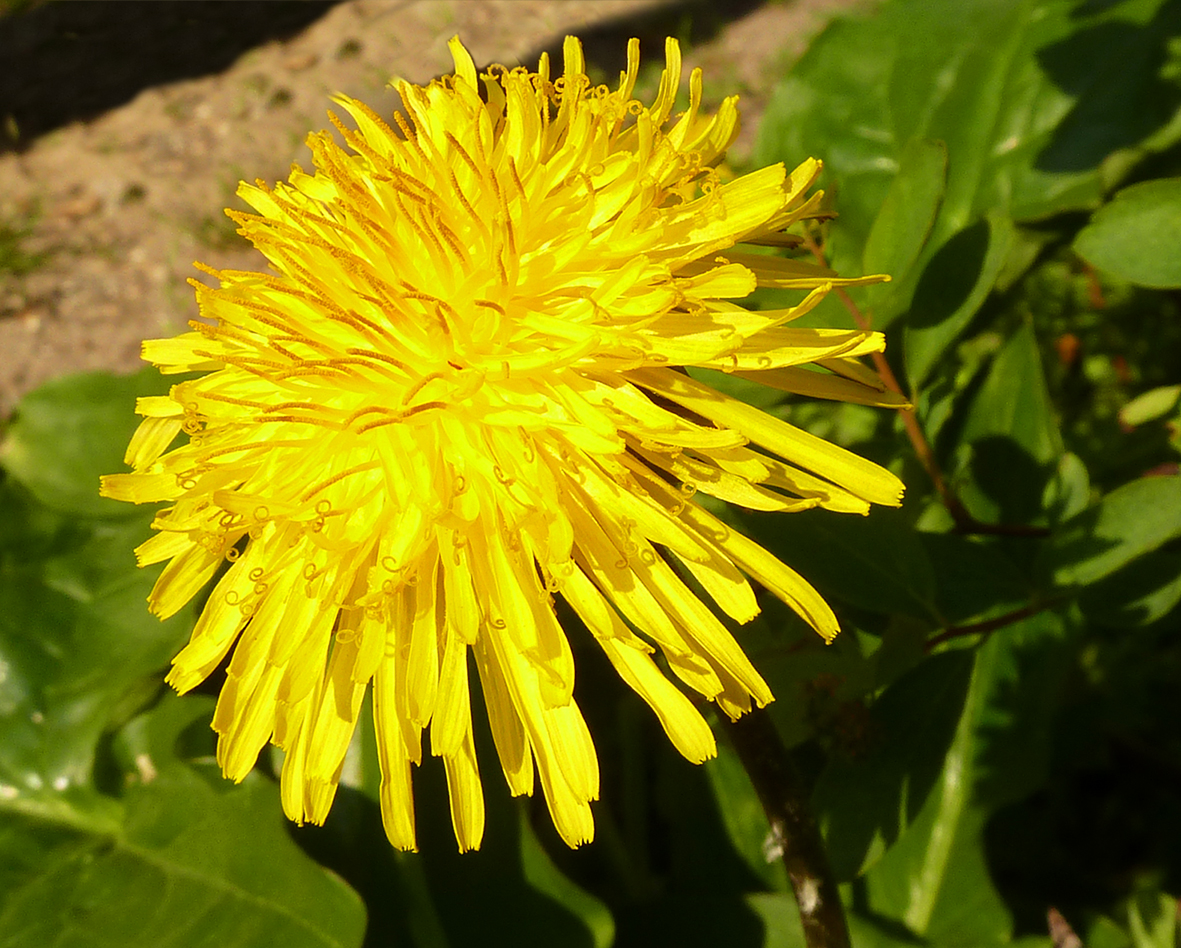 first day of spring dandelion
