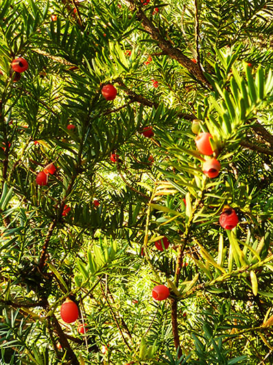 yew tree with red berries