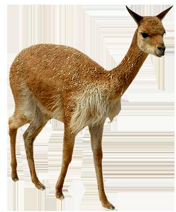 clip art young lama