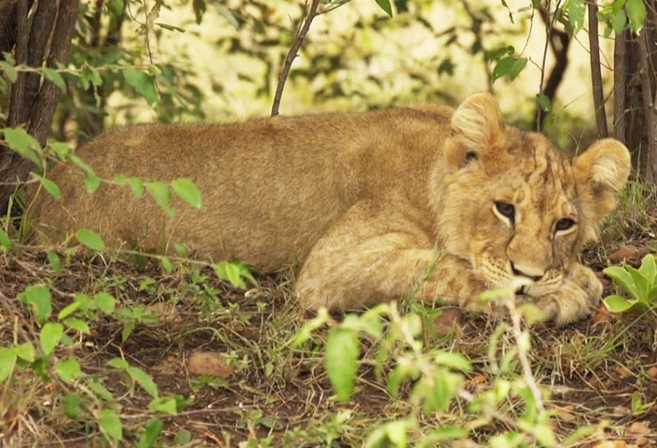 young lion picture