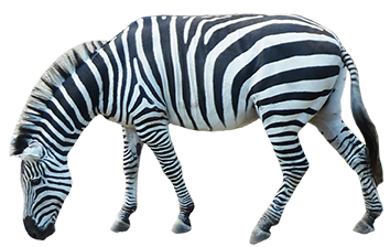 side view zebra