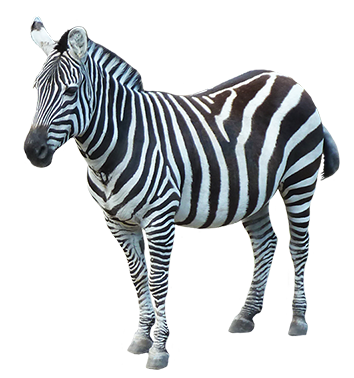 animal clip art baby zebra clipart black and white baby zebra clipart free