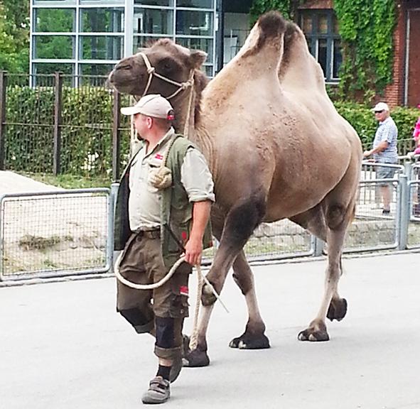 Camel on tour in Copenhagen Zoo