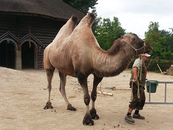 Zookeeper walking with the camel in zoo