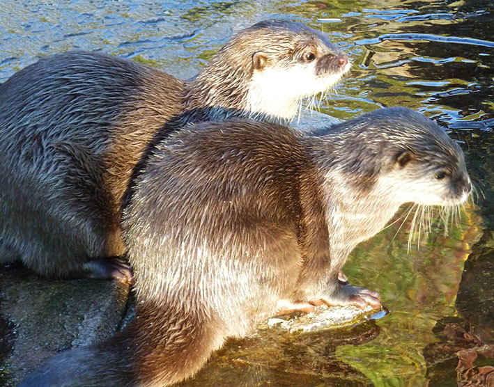 Cute small-clawed Otters