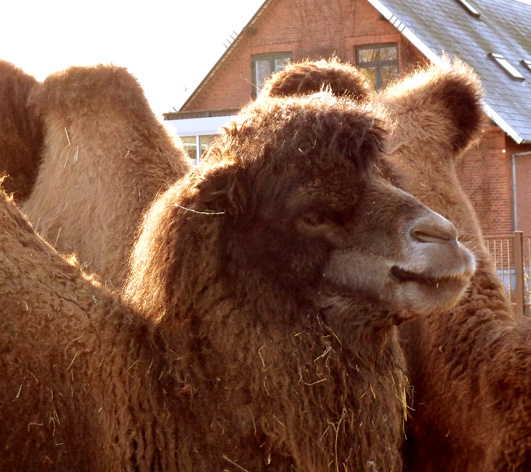 Head of camel close up