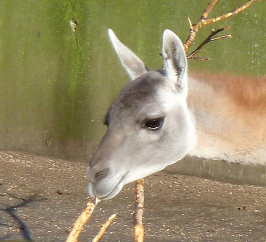 Head of lama