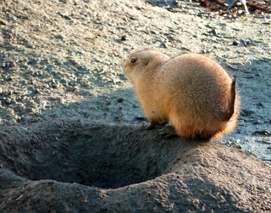 Prairie dog from behind