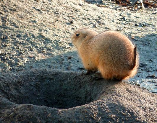 Prairie dog from behind