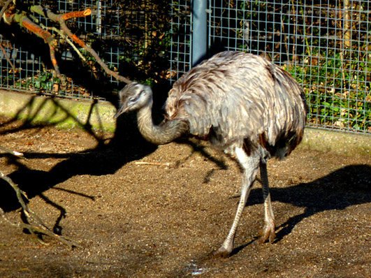 zoo animals rhea walking