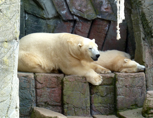 Polar bears in zoo