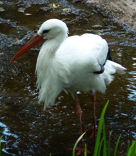 standing stork in zoo