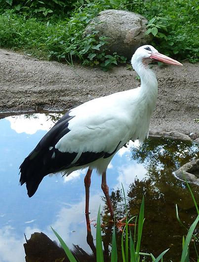 zoo-animal-stork